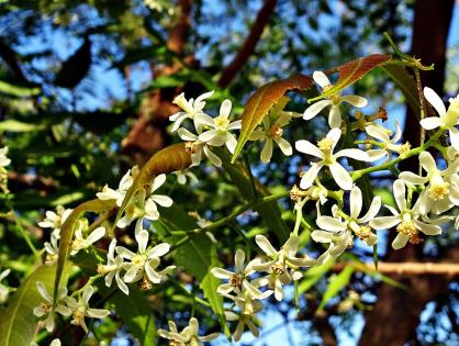Óleo de neem: saiba mais sobre esse versátil inseticida