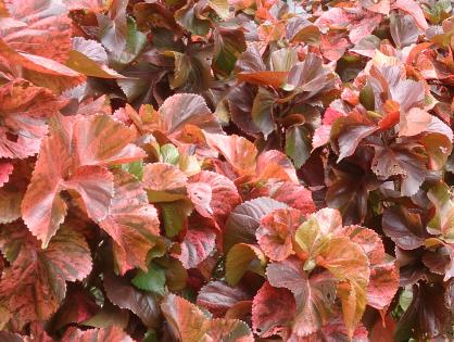 Plantas com folhas vermelhas