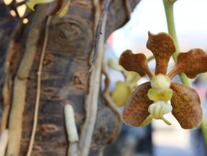 Como prender orquídeas em árvores