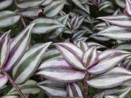 Conheça a planta lambari