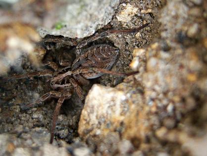 Tudo sobre a aranha-de-jardim