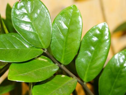 Zamioculca: planta para ambientes internos