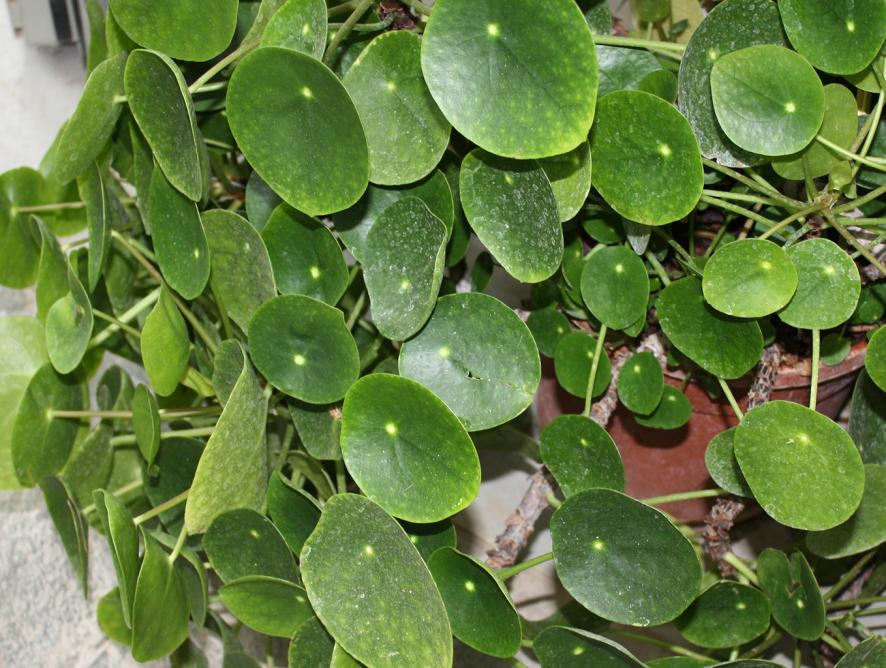 Planta- panqueca: conheça a Pilea peperomioides