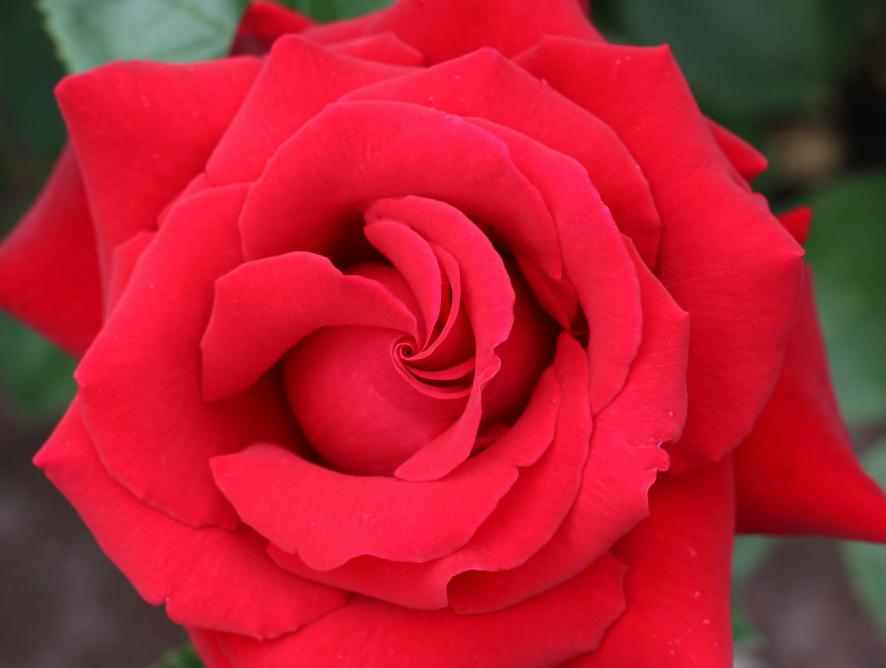 Confira dicas para cultivar rosas em apartamentos
