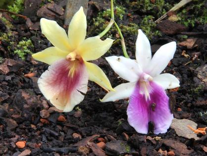 Miltonia regnellii: saiba mais sobre a violetinha-das-árvores