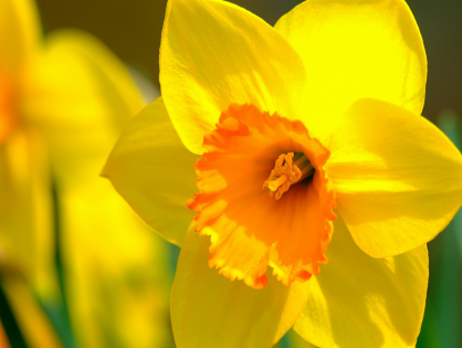 Narciso: beleza e aroma que você precisa conhecer!