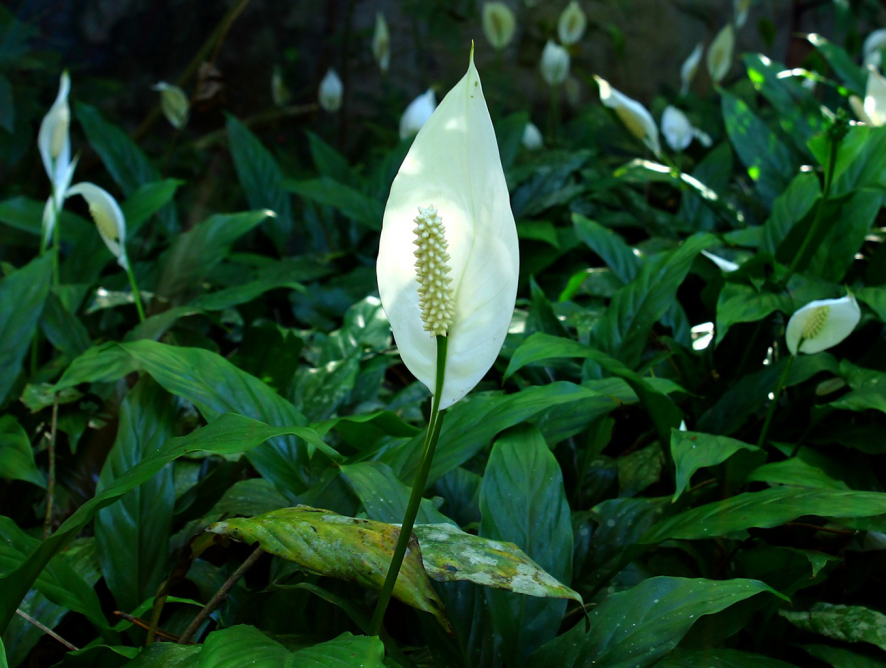 5 espécies de folhagens para espaços meia-sombra