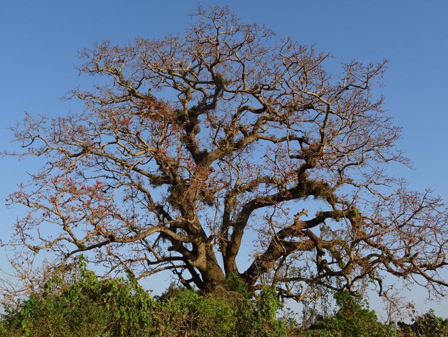Conheça a árvore samaúma
