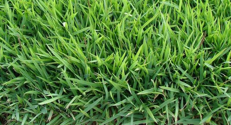 Como replantar a grama esmeralda?