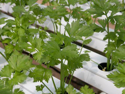 Hidroponia: alternativa para o futuro dos alimentos