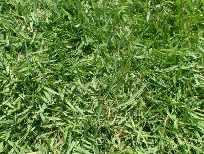 Qual a solução para grama esmeralda seca?