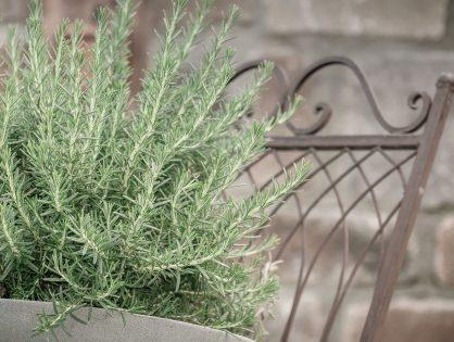 Aprenda como plantar alecrim no vaso