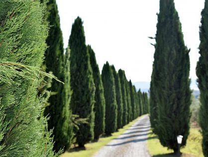Tipos de pinheiro para jardins